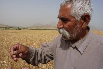 Farmer examining a field of an evolutionary population of wheat in Sahneh, Kermanshah, Iran. Photo: CENESTA