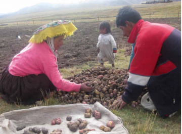 Sorting potatoes in Cuzco, Peru. Photo: José Solis Mora