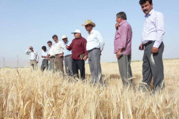 By combining participation and evolution in breeding programmes, farmers can guide the evolution of their crop mixtures. Photo: Maede Salimi