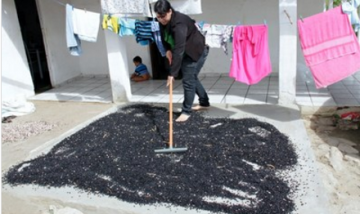 A farmer drying her seeds. Photo: AS-PTA