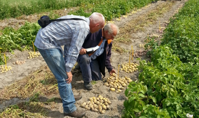 Potato breeding in the Netherlands: successful collaboration between farmers and commercial breeders