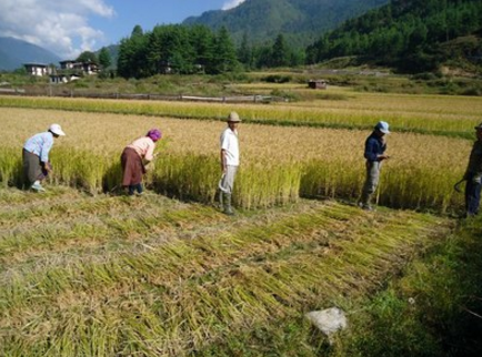 Several popular rice varieties in South Asia have been developed with foreign germplasm. Paro valley of Bhutan. Photo: Tshering Choden