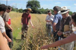 Farmer Florent Mercier shows his wheat varieties to visitors. Photo: Réseau Semences Paysannes
