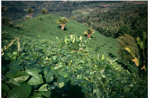 An estimated 25 000 people, between Mexico, Honduras, Guatemala and Belize, have been using mucuna as a green manure cover crop for over 50 years. Photo: Roland Bunch