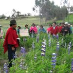 Lupin regains ground in Central Ecuador