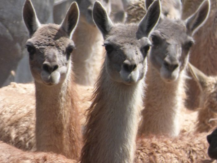 Yarns from the desert: sustainable guanaco management