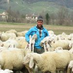 Migrant shepherds sustain pastoralism in the Mediterranean